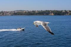 Gabbiano a Ischia #2 (mazuccol) Tags: wings nikon seagull sigma ali napoli naples f18 ischia animali gabbiano 1835 d7100