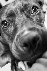 Cutie (AlyKPhoto) Tags: blackandwhite bw rescue dog pet love loving happy friend memories happiness canine pit pitbull bully bestfriend mydog loyal staffordshireterrier