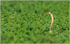 Airone rosso (Fausto Deseri) Tags: wild nature birds wildlife purpleheron ardeapurpurea aironerosso nikontc17eii nikkorafs300f4 nikond7100 campagnasantagatabolognese