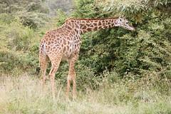 IMG_4040 (Jarod Burns) Tags: africa nationalpark kenya wildlife nairobi safari giraffe nairobinationalpark