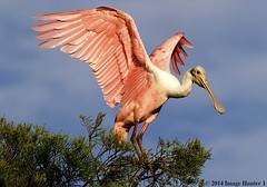 Roseate Spoonbill (Image Hunter 1 (Catching Up yet Again!)) Tags: pink blue sky green bird nature wings louisiana wildlife feathers bayou swamp marsh wingspan cypresstree wingspread canoneos7d