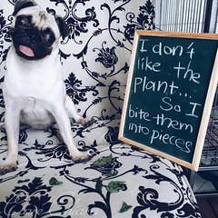 My Poor Plants (clarechiaratanxh) Tags: dog pet love pug adopteddog vsco vscocam dogshamming saharathepug
