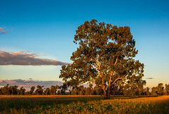 Yellow Box Country (Paroo Red Photography) Tags: trees bush australia outback