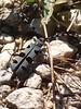 Rosalia alpina (Luca Pisani) Tags: parco alpina monte rosalia cucco coleottero rischio motette