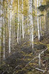 IMG_1695 (armadil) Tags: angelrocks chena fairbanks hike hikes autumn fall alaska birch birchtrees angel091014