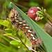 Smartweed Caterpillar (Acronicta oblinita)