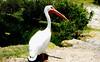 Pelícano (copito_m) Tags: naturaleza color nature animal nikon animales mywinners abigfave aplusphoto