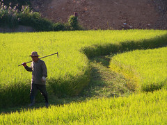 Paengseong Farmer (MTS Farrell) Tags: sunset camp people man field walking roc evening asia rice farm farming photojournalism korea hoe farmer southkorea humphreys eastasia pyeongtaek paengseong