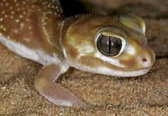 Smooth Knob-tailed Gecko (Nephrurus levis occidentalis) (cowyeow) Tags: nature desert reptile wildlife australia lizard wa gecko levis westernaustralia herp herpetology sharksbay occidentalis herping knobtailedgecko nephrurus nephruruslevisoccidentalis smoothknobtailedgecko
