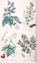Anglų lietuvių žodynas. Žodis ruscus aculeatus reiškia pelžiedžių lietuviškai.