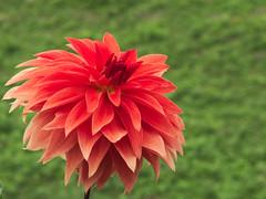 dahlia (upjohn_freak) Tags: dahlia red flower fiore gxr