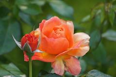Flower (Tjflex2) Tags: canada flower nature vancouver garden spectacular bc heart vandusenbotanicalgarden