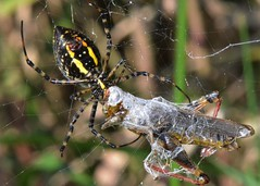 a good meal (laurie_frisch) Tags: bug garden spider cool interesting with natural arachnid insects iowa bugs rapids cedar grasshopper prey arachnids behavior habitat argiope banded trifasciata