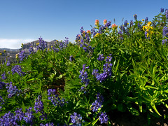Lupine Heaven (Crest Pictures) Tags: wildflowers tetons sunsetlake