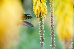St Croix, Caribbean (lokthefish) Tags: hummingbird stcroix caribbean 18022012