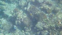 Maldives (Laika ac) Tags: ocean fish coral indianocean anemone maldives anemonefish coralreef northmaleatoll maldivesanemonefish