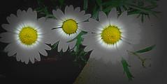 Daisy chain...○°•○●°•○●°•●