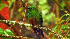 Near endemic, coppery-bellied puffleg , Eriocnemis cupreoventris, Parque nacional Chingaza, Observatorio de Colibries ALARTE, During birding tour in easter andes with Bogota Birding (Oswaldo Cortes- Birding Guide) (OSWALDO CORTES -Bogota Birding and Birdwatching Co) Tags: nearendemic parquenacionalchingaza eriocnemiscupreoventris copperybelliedpuffleg duringbirdingtourineasterandeswithbogotabirdingoswaldocortesbirdingguide observatoriodecolibriesalarte