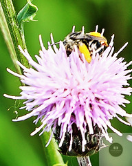 Bee in a Thistle
