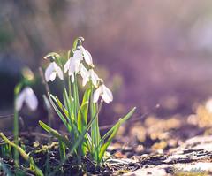 SpRiNg Is CoMiNg (melimage) Tags: spring flower macro photo photographie photography printemps fleur perce neige melisa lefebvre nikon d7100
