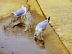 A Little the Fresh Water (dimaruss34) Tags: newyork brooklyn dmitriyfomenko image winter manhattanbeach bird birds gulls reflection