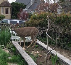 Deer in our Flower Box (Emily1957) Tags: deer doe wildlife animal young iphone light naturallight california