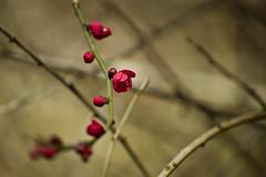 (frewmanchu) Tags: vandusenbotanicalgarden spring vancouver japaneseapricot blossom