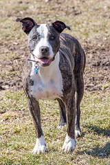IMG_0397 (kris10pix) Tags: dogpark dog pup puppy dogs wi wisconsindogparks pitbull pitbullmix