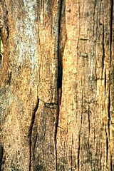 Northern Catalpa (Catalpa speciosa), Bark [3] (In The Mind Of Nature (Plantae)) Tags: catalpaspeciosa northerncatalpa hardycatalpa westerncatalpa cigartree catawbatree plant tree deciduoustree minneapolisminnesota minnesota midwesternunitedstatesnativetreespecies midwesternunitedstatesnativeplantspecies northamericannativeplantspecies northamericannativetree inthemindofnature nature permaculture arboriculture catalpabark bark hardwood ornamentaltree