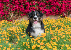 6/52 - Poppies (jayvan) Tags: dash aussie australianshepherd dog phoenix arizona poppies colorful flowers yellow red 52wfd 52weeksfordogs sony he flowerscolors catchycolors