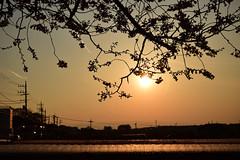 20170404_007_2 (まさちゃん) Tags: 桜 シルエット 夕陽 silhouette 光 ビニールトンネル