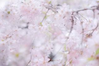 桜色の中の彩り[Explored]