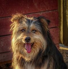 his name must be Einstein :) (Luana 0201) Tags: dog animal old einstein tongue