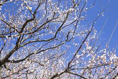 20170219南部梅林4901 (K.masao) Tags: plumblossoms flowers nature japanmasaokatayama
