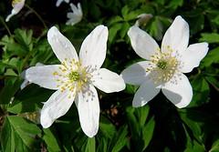 Wood Anemones (Hornbeam Arts) Tags: anemonenemorosa birchanger