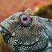 Pfauenschleimfisch (Salaria pavo)
