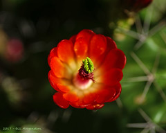 Cactus Flower (agates4me) Tags: claretcupcactus cactusblooms cactusflowers texascactus macro macrophotography spines ecosystem habitat hillcountry