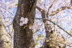 _DSC4460 (sayo-tsu) Tags: sakura saitama cherryblossom gongendopark sattecity 桜 お花見 権現堂 埼玉県