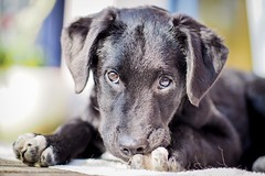 Welcome... 🐾 (TS_1000) Tags: jussi labrador drahthaar mix olympus dog welpe nocticron