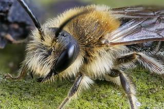 Rotschopfige Sandbiene (Andrena haemorrhoa) Männchen