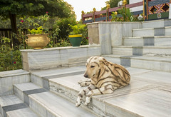 Tiger (Nebelkuss) Tags: india asia bihar bodhgaia bodhgaya perros dogs monasterio monastery budismo budista buddhism buddhist fujixt1 fujinonxf23f14