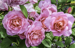 Roses from Bodnant (Elaine 55.) Tags: roses pink bodnantgardens summer