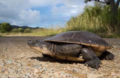 Cann's long-necked turtle (Chelodina canni) (Stephen Zozaya) Tags: chelodinacanni chelodina turtle chelidae townsville pallarenda