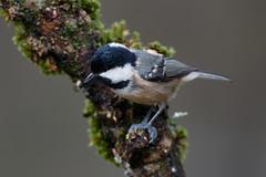 _F0A7096.jpg (Kico Lopez) Tags: carbonerogarrapinos galicia lugo miño parusater spain aves birds rio