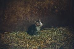 (ニノ Nino) Tags: nikon nikkor nikon50mmf12ais ainikkor50mmf12s 50mm 50 mm film analogue nature kitty cat cats kittens bokeh bokehlicious