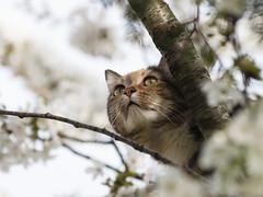 Curiosidad primaveral... (RosanaCalvo) Tags: dina airelibre animal c cara flores gata gato guindal jardín mascota primavera árbol
