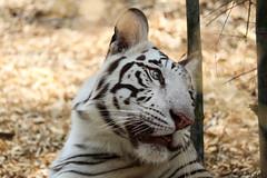 Did someone call me... (ravitejanadiminti) Tags: tiger whitetiger animal canon80d canon wildanimal wild looking zoo safari bigcat cat bengaluru india bannerghatta bangalore outdoor nationalpark