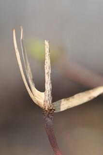 Carolinian Tulip Tree seed