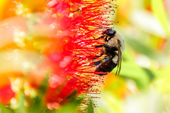 Bottle Brush loving bees (James Kellogg's Photographs) Tags: pollen bees bottle brush flowers honey bright colors red yellow green birds pollenation canon eos 7d mark ii ef70200mm f28l is usm