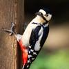 greater spotted woodpecker (stevehimages) Tags: woodpecker greater spotted calke abbey national trust steve steveh stevehimages wowzers warden grandpas grandpasden den 2017